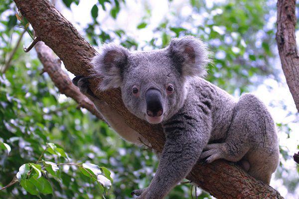 Koala in its natural habitat