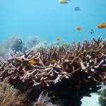 サンゴの楽園、セブNalusan島でダイビング!