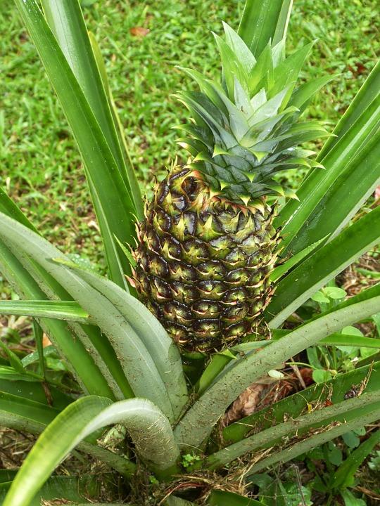 pineapple-287313_960_720