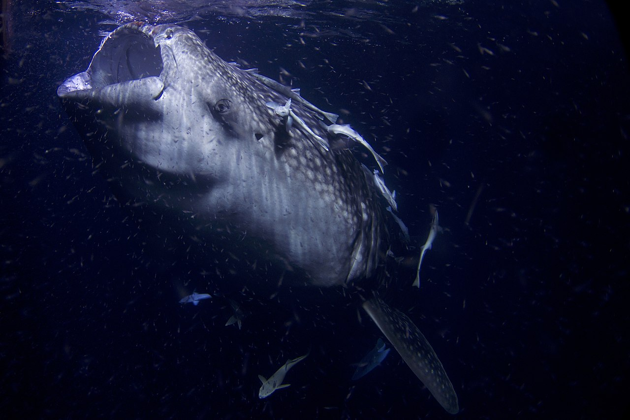 1280px-Whale_Shark_1_AdF
